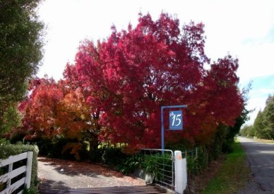 Deciduous Acers along driveway entry to property