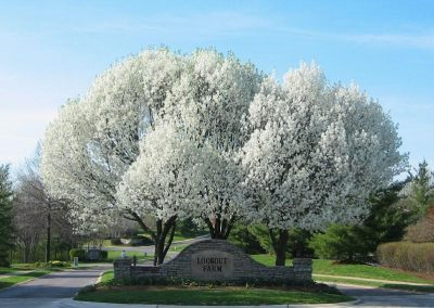 White cherry blossom trees at entrance to the property